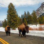 Photograph of a majestic bison in Wyoming, Yellowstone national park